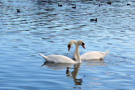mere: Two swans on the mere at Hornsea, East Yorkshire UK