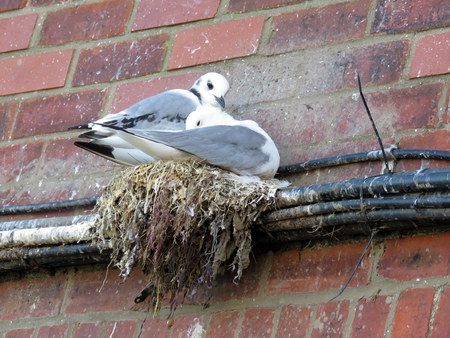 Seagulls nesting on a thin ledge of pipes against a wall