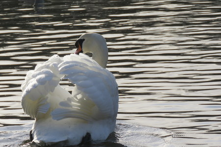 mere: A swan gliding down the mere at Scarborough, North Yorkshire, UK