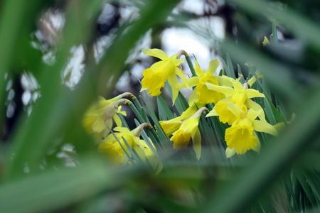 daffodils: Daffodils in Springtime