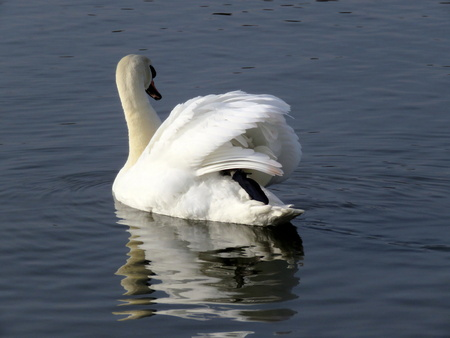 mere: Single swan swimming on the mere