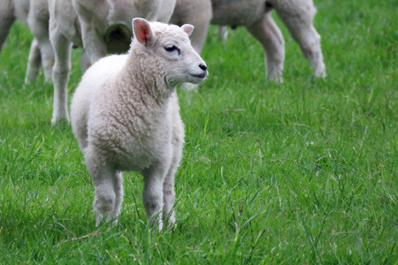 bleating: A lamb in a field in Spring