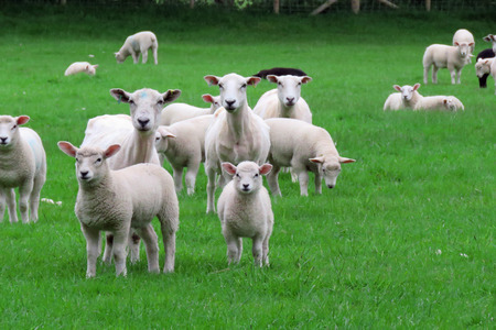 sheep in a field shortly after shearing