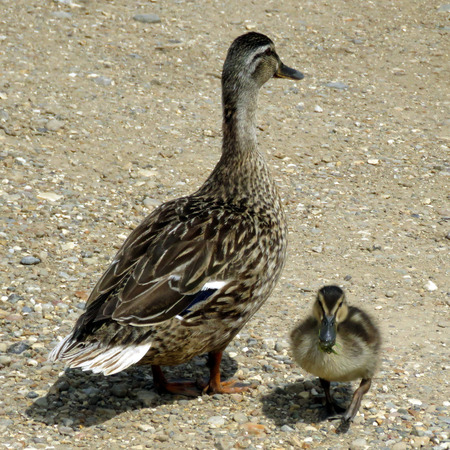 agachado: Mother duck and baby ducking on gravel at the lakeside