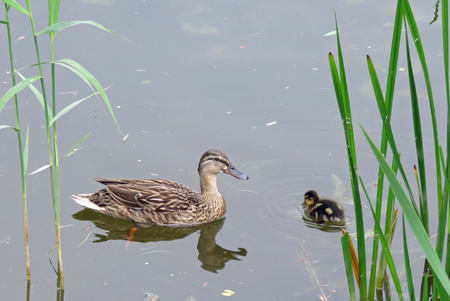 Mother and baby duck on the pond Stock Photo