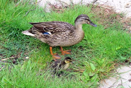 agachado: Mother duck and baby ducking on grass at the lakeside