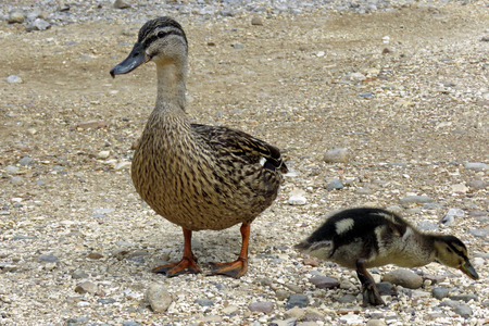 Mother duck and baby ducking on gravel at the lakeside