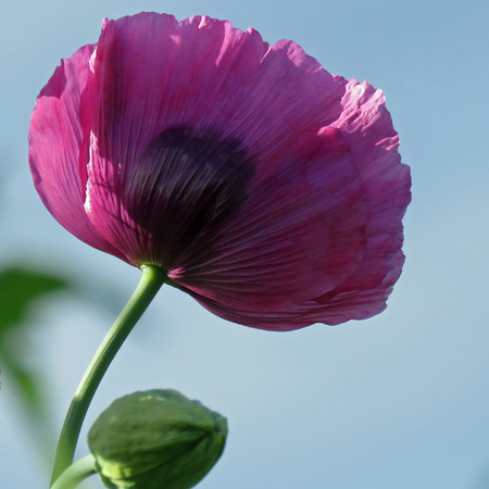 Frilled Poppy against a background of sky