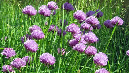 Allium flower: Chive flowers in a garden setting Stock Photo