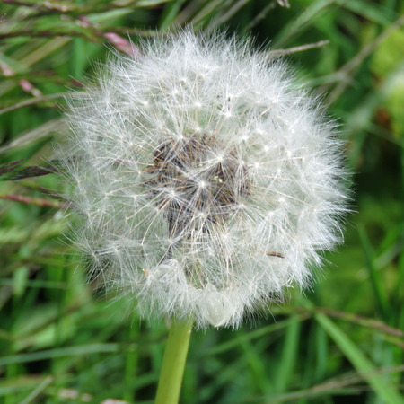 Close up of a dandelion clock against a grass background