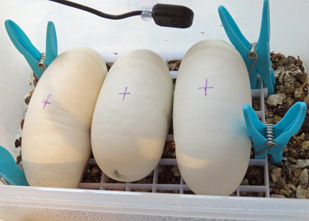 Healthy batch of python eggs