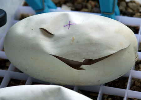 incubate: Royal  ball python eggs that have been cut after starting to pip Stock Photo