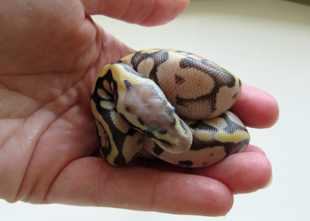 A newly hatched royal  ball python Stock Photo