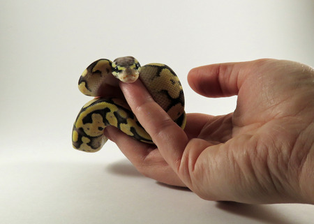 A baby yellow and black coloured Royal  Ball Python being held in a hand against white background Standard-Bild