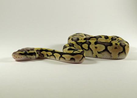 Ein Baby gelb und schwarz gefärbt Royal  Ball Python vor einem weißen Hintergrund Standard-Bild