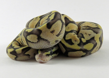 Ein Baby gelb und schwarz gefärbt Royal  Ball Python zusammengerollt vor einem weißen Hintergrund