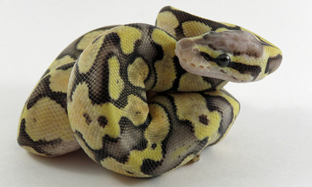 A baby yellow and black coloured Royal  Ball Python  curled up against a white background Stock Photo