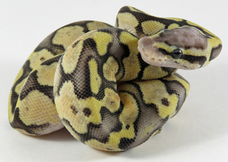 A baby yellow and black coloured Royal  Ball Python  curled up against a white background Standard-Bild