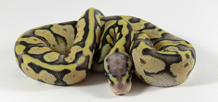 Close up of a  baby yellow and black coloured Royal  Ball Python  against a white background