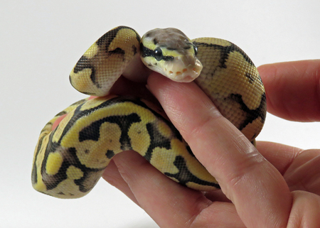 A baby yellow and black coloured Royal  Ball Python  being held in a hand against white background