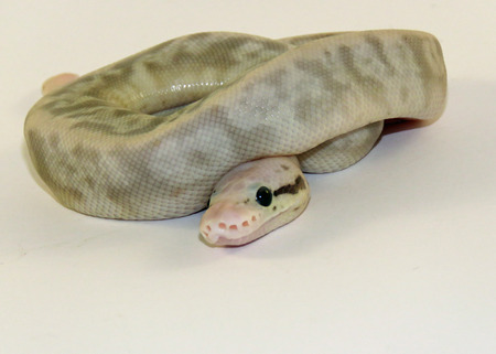 A baby flesh coloured Royal  Ball Python  against a white background Stock Photo