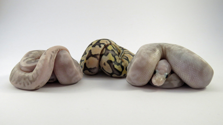 Three Baby Royal  Ball Pythons from the same batch of eggs, two flesh coloured and one yellow and black, curled up on a white background.