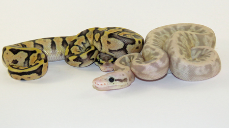 Two Baby Royal  Ball Pythons from the same batch of eggs, one flesh coloured and one yellow and black, on a white background.
