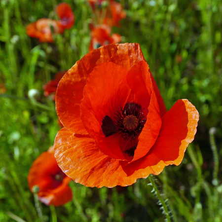 Nahaufnahme von einer einzigen roten Mohn wächst in der Wildnis mit einem Sommer Wiese Hintergrund