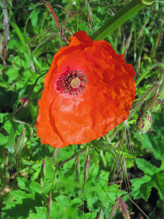 Close up of a single red poppy growing in the wild with a summer meadow background