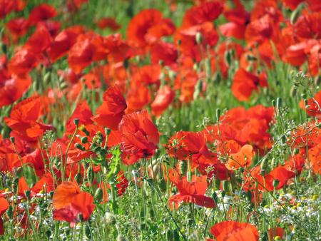 Eine Wiese voller Mohn und Gräser in ländlicher englischer Landschaft Standard-Bild - 82552569