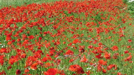 Eine Wiese voller Mohn und Gräser in ländlicher englischer Landschaft Standard-Bild - 81777582