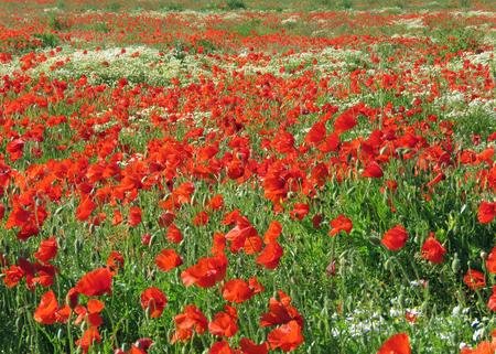 Eine Wiese voller Mohn und Gräser in ländlicher englischer Landschaft Standard-Bild - 82552571