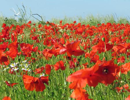 Eine Wiese voller Mohn und Gräser in ländlicher englischer Landschaft Standard-Bild - 81835534