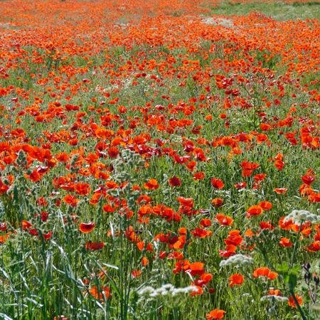 Eine Wiese voller Mohn und Gräser in ländlicher englischer Landschaft Standard-Bild - 81788065