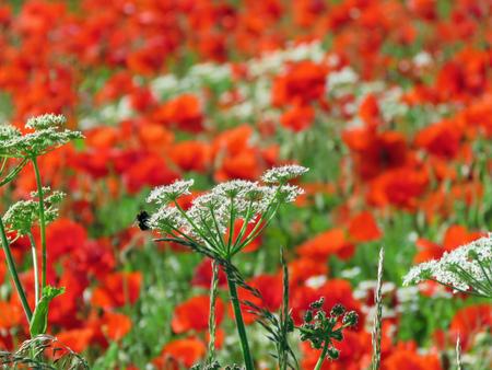 Eine Wiese voller Mohn und Gräser in ländlicher englischer Landschaft Standard-Bild - 82552572