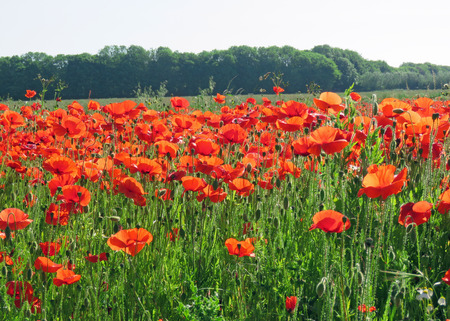 A meadow full of poppies and grasses in rural English countryside Standard-Bild - 81777581