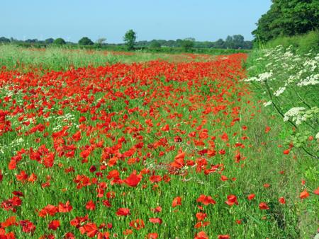 Eine Wiese voller Mohn und Gräser in der englischen englischen Landschaft Standard-Bild - 82552573