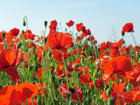 Eine Wiese voller Mohn und Gräser in ländlicher englischer Landschaft Standard-Bild - 81777941
