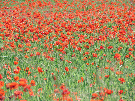 A meadow full of poppies and grasses in rural English countryside Stock Photo