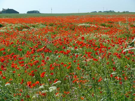 Eine Wiese voller Mohn und Gräser in ländlicher englischer Landschaft Standard-Bild - 81912960