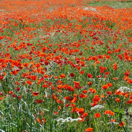 Eine Wiese voller Mohn und Gräser in ländlicher englischer Landschaft Standard-Bild - 82552566