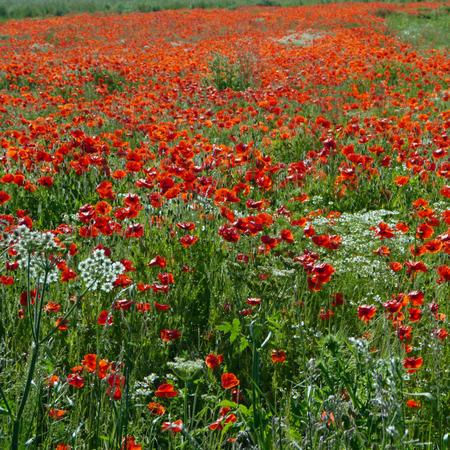 Eine Wiese voller Mohn und Gräser in ländlicher englischer Landschaft Standard-Bild - 81777945