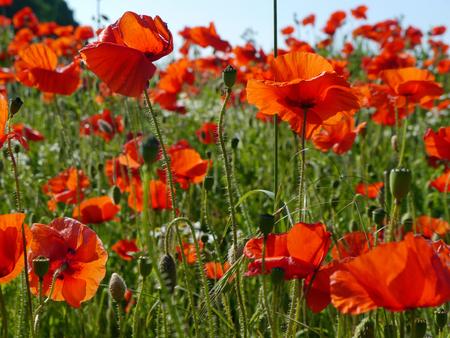 Eine Wiese voller Mohn und Gräser in ländlicher englischer Landschaft Standard-Bild - 82552567