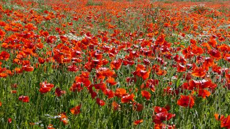 Eine Wiese voller Mohn und Gräser in ländlicher englischer Landschaft Standard-Bild - 81912961