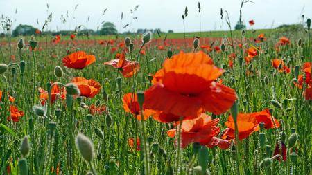 Eine Wiese voller Mohn und Gräser in der englischen englischen Landschaft Standard-Bild - 82552568