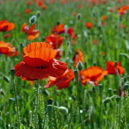 Eine Wiese voller Mohn und Gräser in ländlicher englischer Landschaft Standard-Bild - 81777949