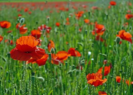 Eine Wiese voller Mohn und Gräser in ländlicher englischer Landschaft Standard-Bild - 81777948