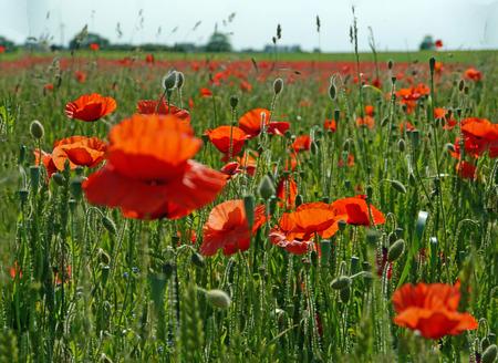 Eine Wiese voller Mohn und Gräser in ländlicher englischer Landschaft