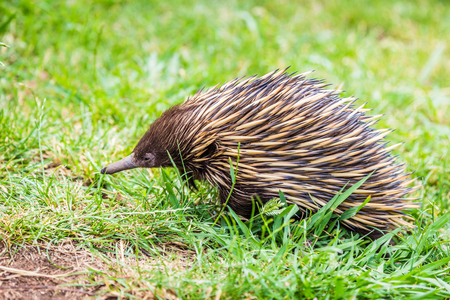 Close up of an Echidna (Tachyglossidae), seen in NSW Australia Stock Photo