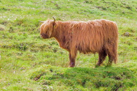 Horned highland cow standing in a field on the Isle of Skye, Scotland, UK.